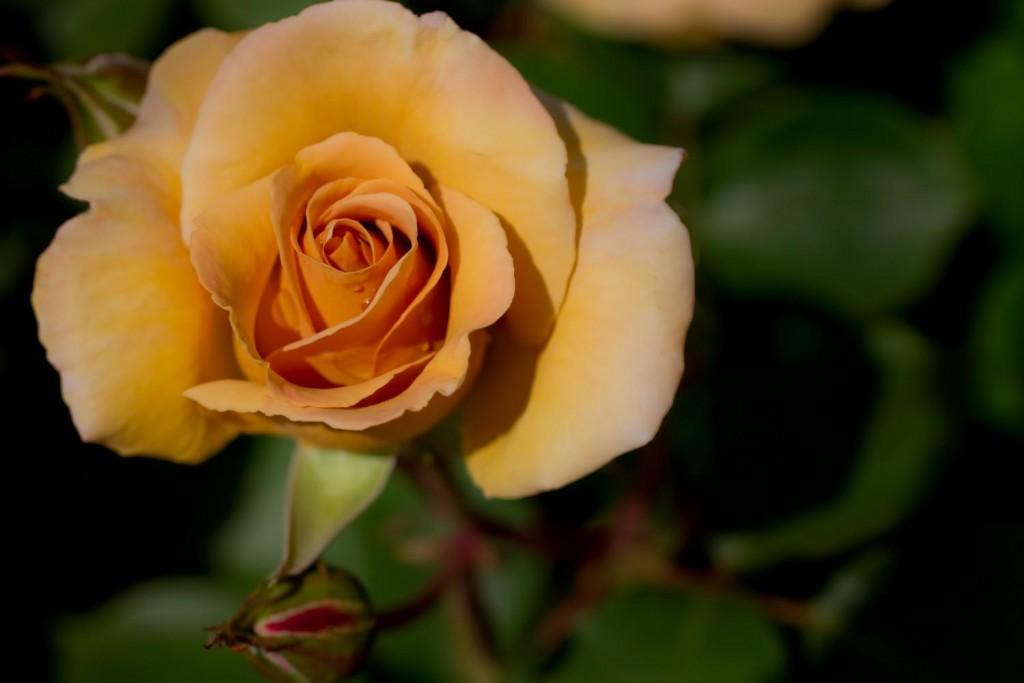 rose yellrow