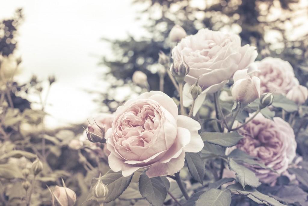 rosenostalgic